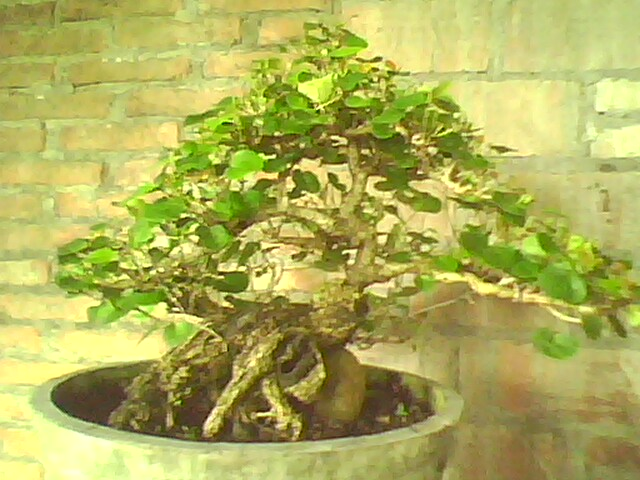 Bonsai Demak Grove Master