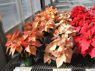 pastel color poinsettia plants