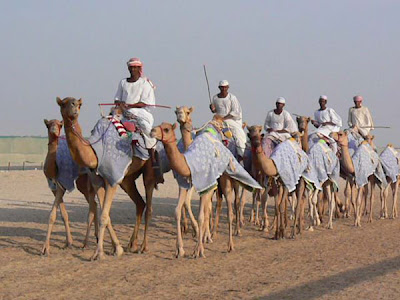 Camels in training before the racing season