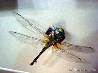 Libélula, butterfly