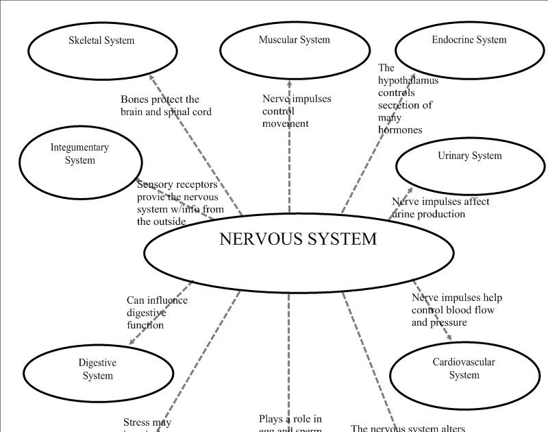 mY pAGE iN mY wAY: Nervous System Graphic Organizer