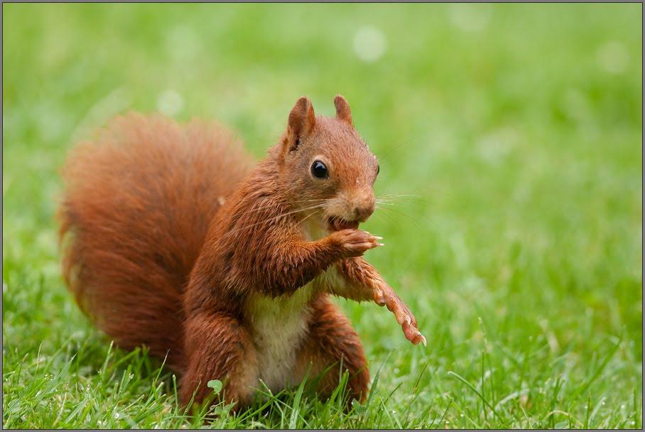 Eichhörnchen Im Garten : natur im garten eichh rnchen ~ Watch28wear.com Haus und Dekorationen