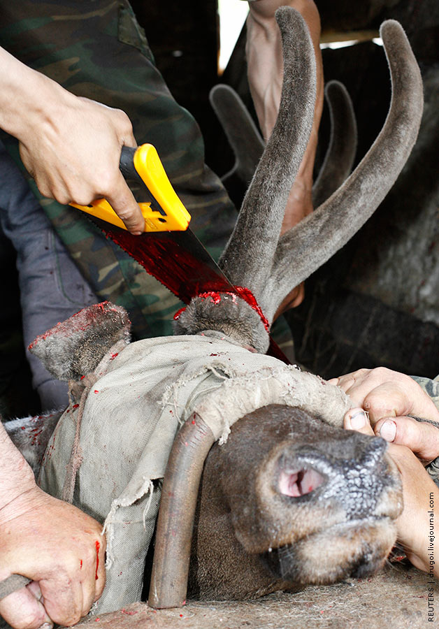 Animals World Gruesome Procedure On Dear
