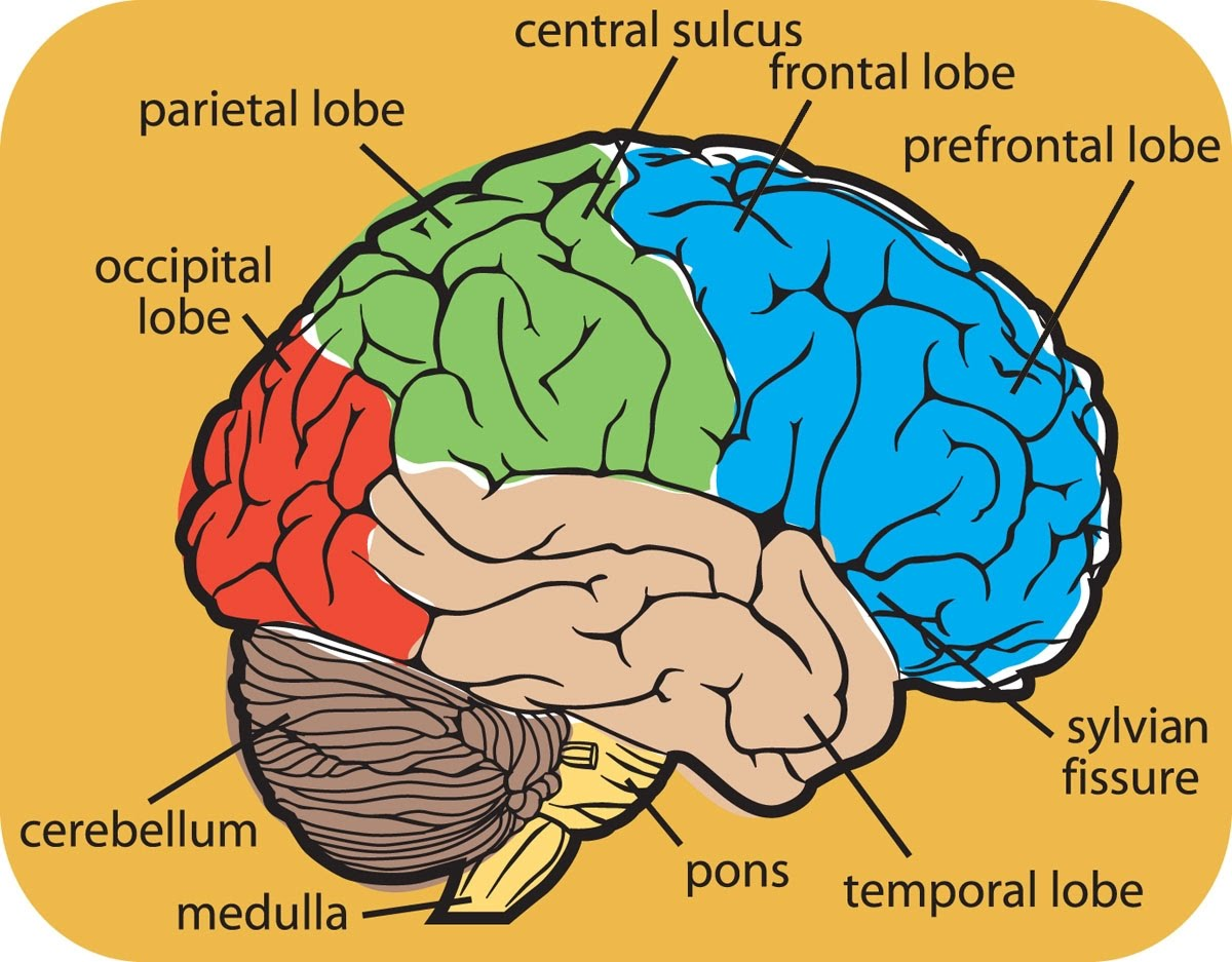 Right Lateral Brain Diagram Domestic Electrical Wiring My Psychology Journal Phineas Gage