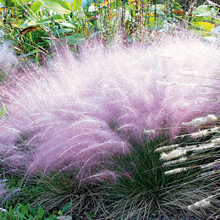 My New Fave Native Pink Muhly Grass Muhlenbergia