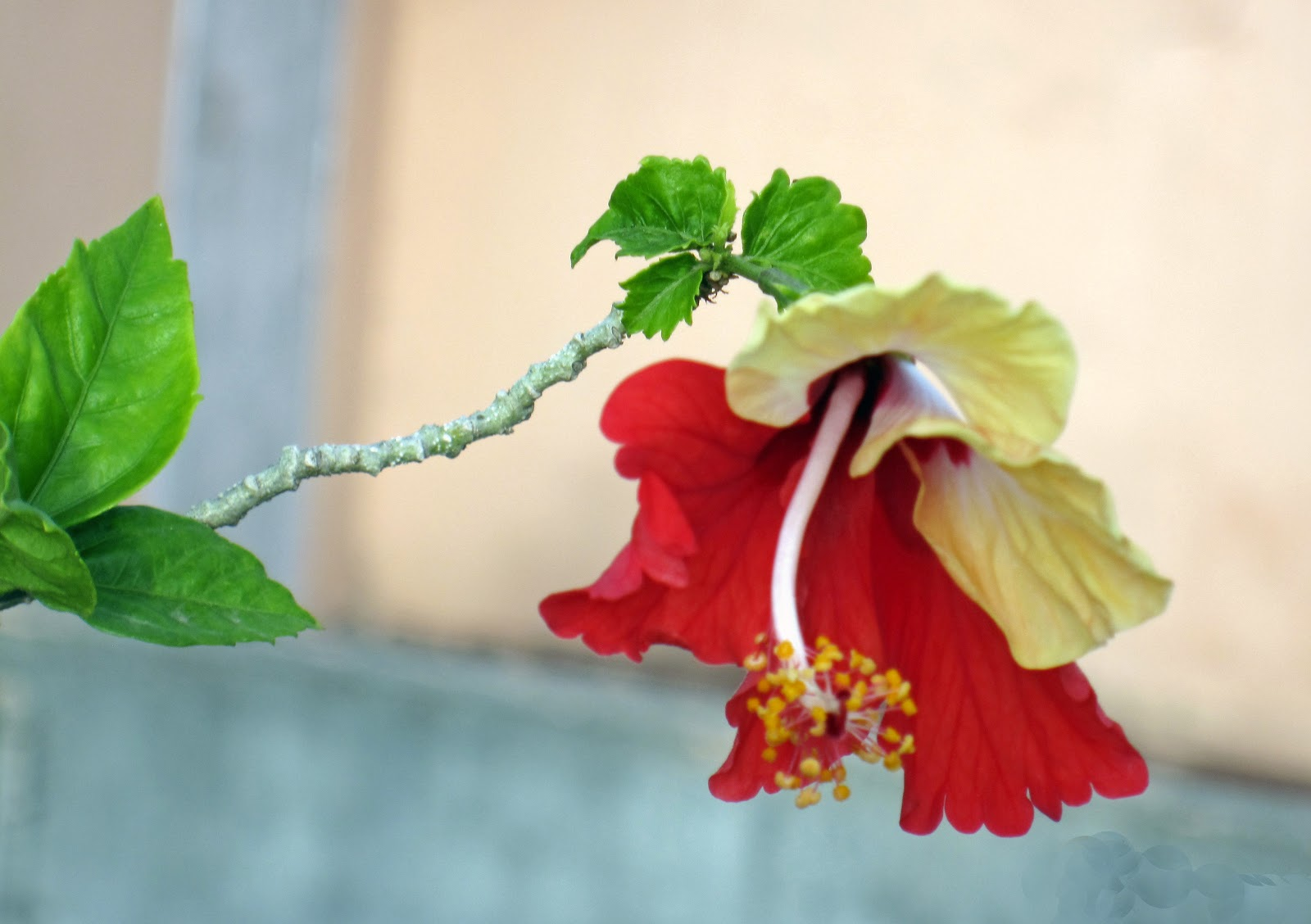 Hibiscus Are Very Beautiful With Yellow And Red 100