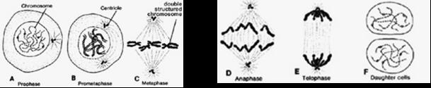 gambar-pembelahan-mitosis
