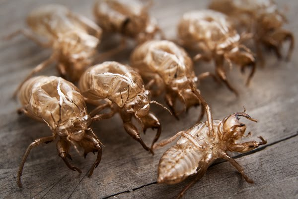 molting cicada beside husk