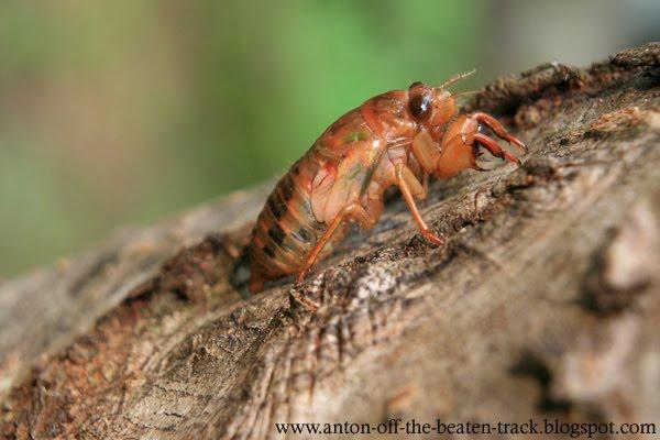 cicada nymph macro photo
