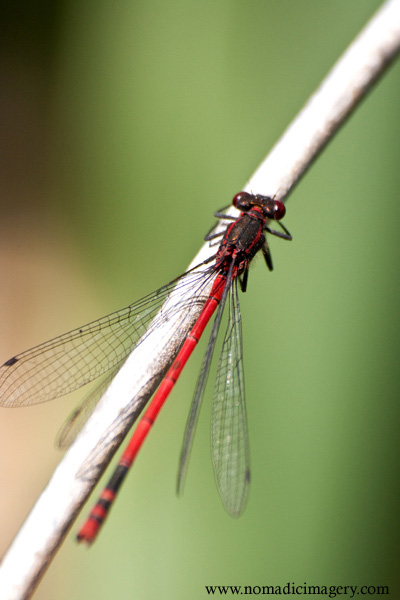 phyrrhosa nymphula red damselfly macro
