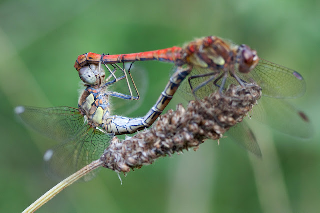 pait of mating dragonflies