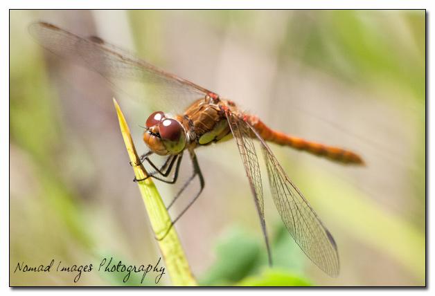immature common darter dragonfly macro photo