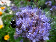 PHACELIA: Bee's Friend