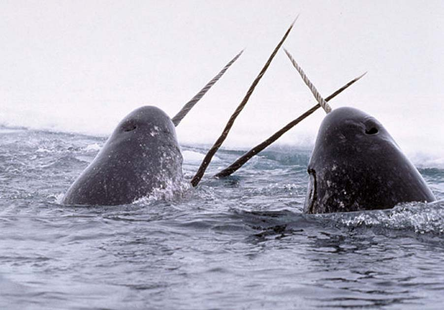Spratt Actual: Narwhal