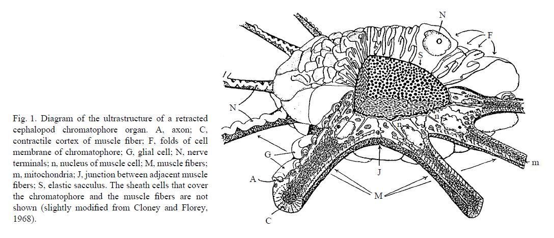 chromatophore cuttlefish diagram