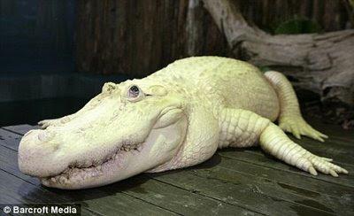 rare crocodile florida white albino alligator. Black Bedroom Furniture Sets. Home Design Ideas