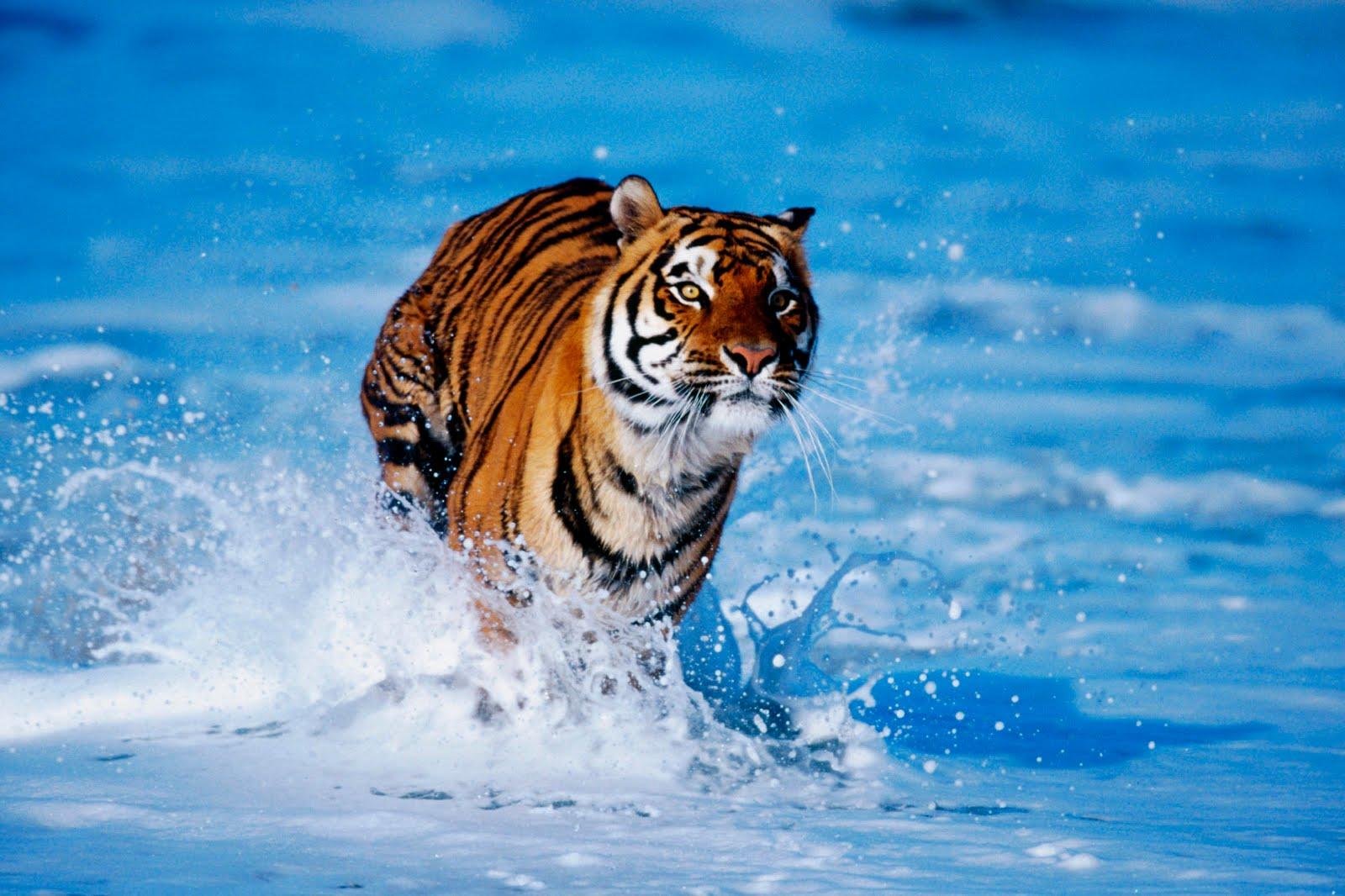 https://2.bp.blogspot.com/_6Ks7mquN8BQ/TMfuyPD0L8I/AAAAAAAAATk/pCpqsfv8pxc/s1600/bengal_tiger.jpg