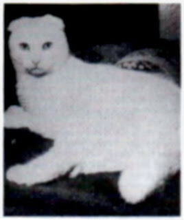 İlk Scottish Fold Beyaz renkli bir kedidir