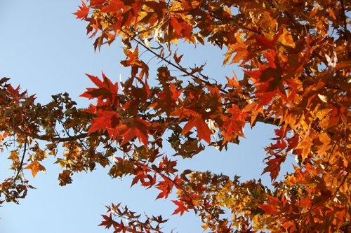 Beijing autumn maples
