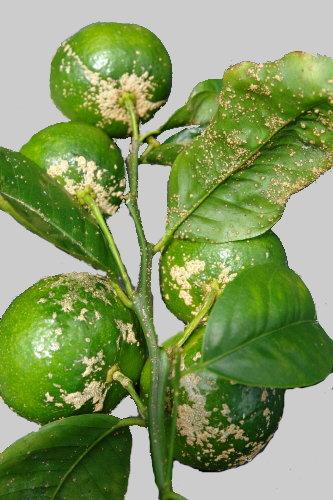 Costras o ro as del fruto el mundo y sus plantas for Enfermedades citricos fotos