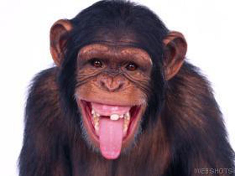 Funny Animals: Funny Chimp Face
