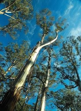 Les Arbres Ne Montent Pas Jusqu'au Ciel : arbres, montent, jusqu'au, Siècle, Bleu:, Eucalyptus, Géants, Arbres, Montent, Jusqu'au