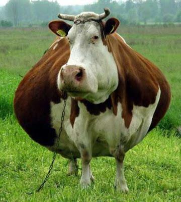 Animais gordos 4