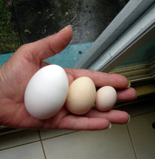 jumbo egg, bantam eggs