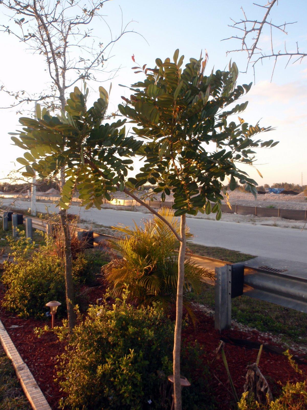 South Florida Gardening Blog Paradise Tree Simarouba Glauca