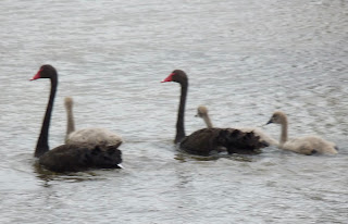 black swans and cygnets banrock station remark south australia