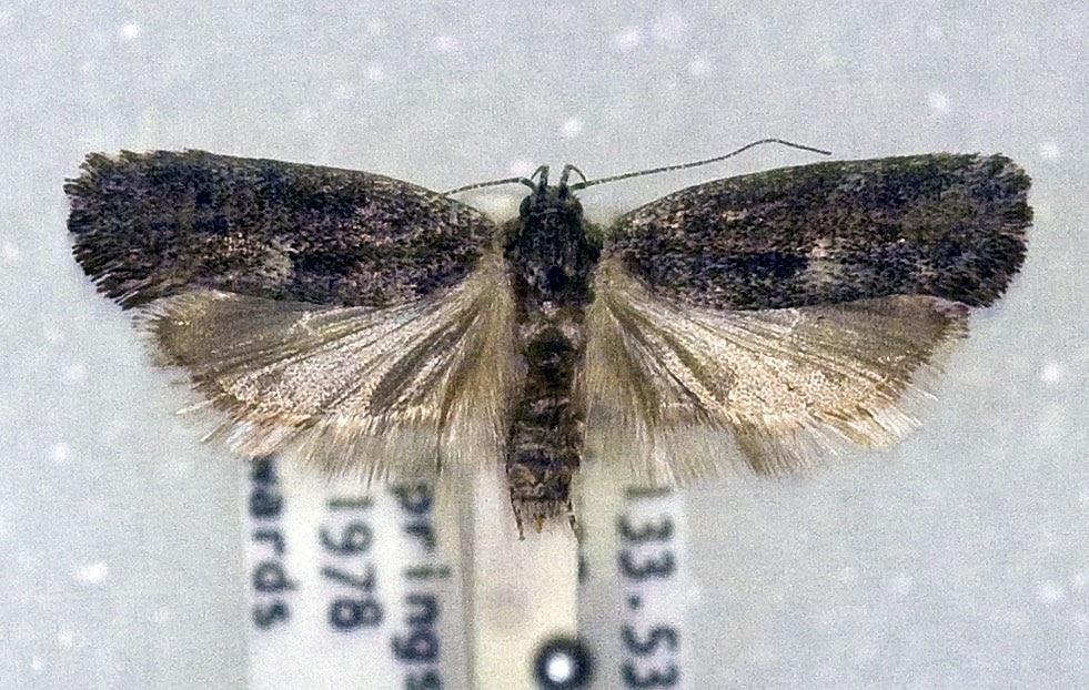 Xyloryctine Moths of Australia: Lichenaula drosias