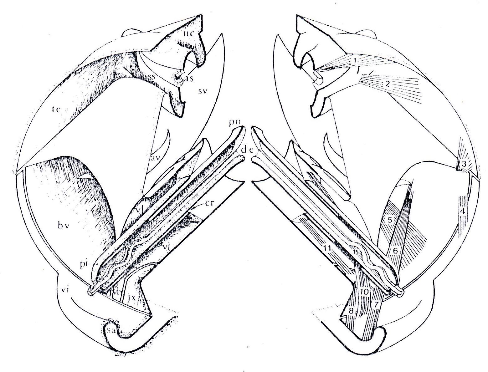 Xyloryctine Moths Of Australia Cryptophasa Lasiocosma