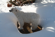 Polar Bear in the snow.....