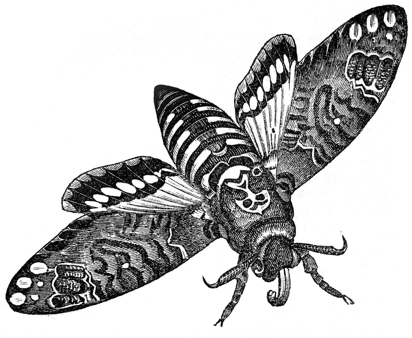 Moth drawing - photo#34