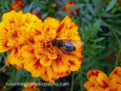 Marigold flower with a bee-macro
