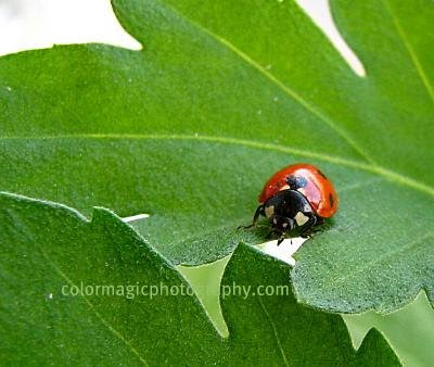 Ladybug with seven spots