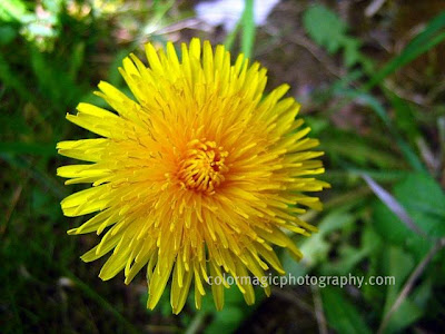 Bright yellow dandelion flower