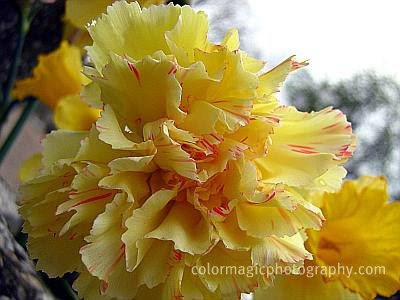 Yellow carnation flower with red stripes