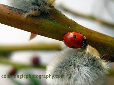 Ladybird on a pussy willow-close-up photo