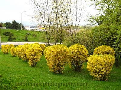 Yellow bushes-spring colors