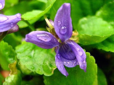 Purple violets with raindrops