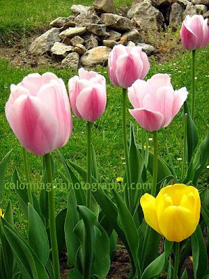 Pink tulip photos