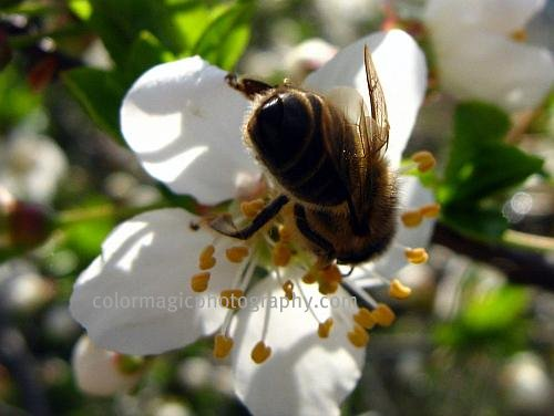 Cherry blossom with bee-macro