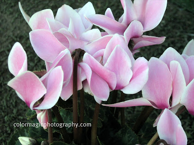 Pink cyclamen flower photo