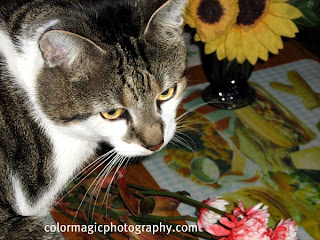 Cat portrait, cat eating the flowers on the table-close up