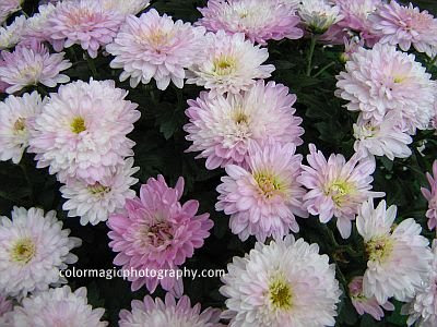 A bunch of pink chrysanthemums