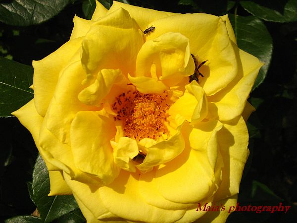 Yellow rose with bees