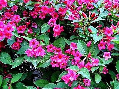 Purple Weigela