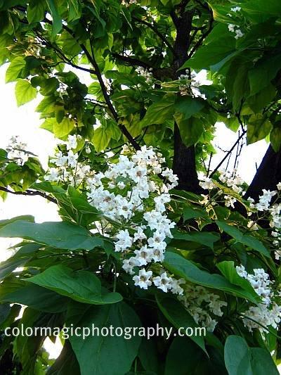 Catalpa tree trees flowering in june mightylinksfo