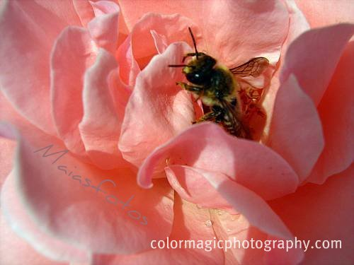 Bee among rose petals